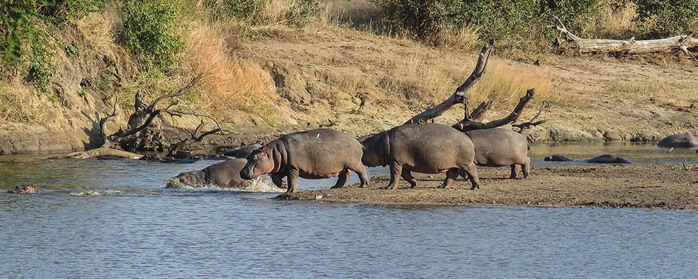 At Scotia dam: hippos on walk
