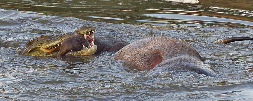 Croc with Waterbuck ki