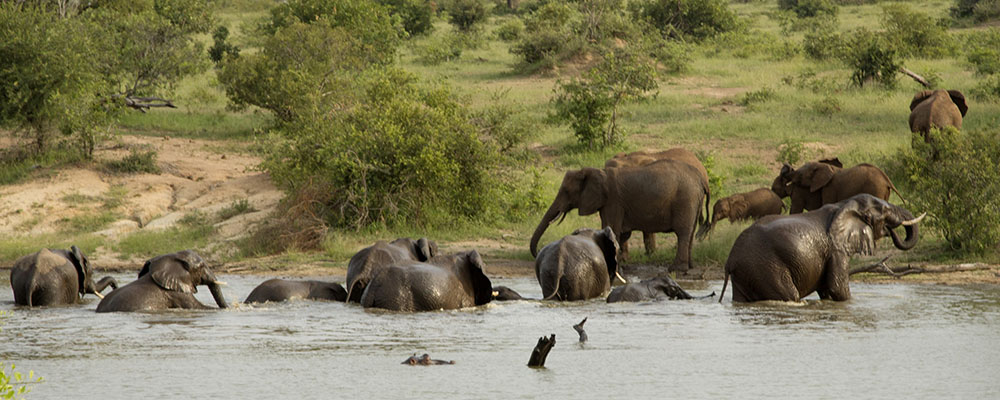 Elephants at Scotia dam