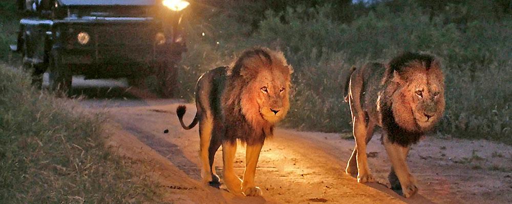 Lions on Safari