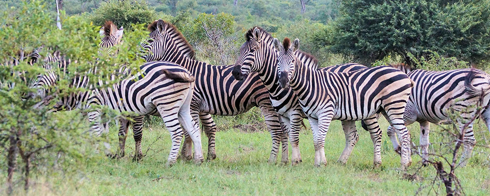 Zebras on bushwalk